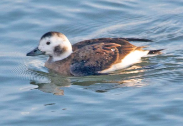 Long Tailed Duck 2020-10