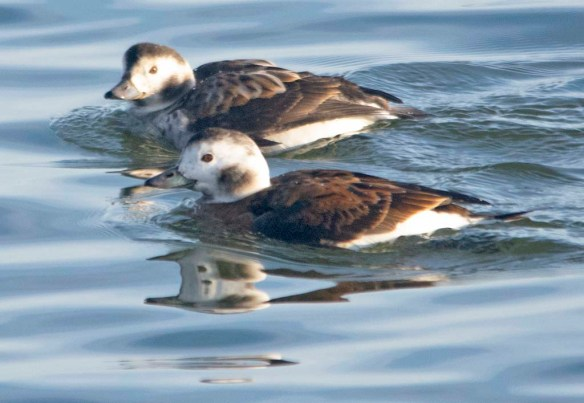 Long Tailed Duck 2020-9