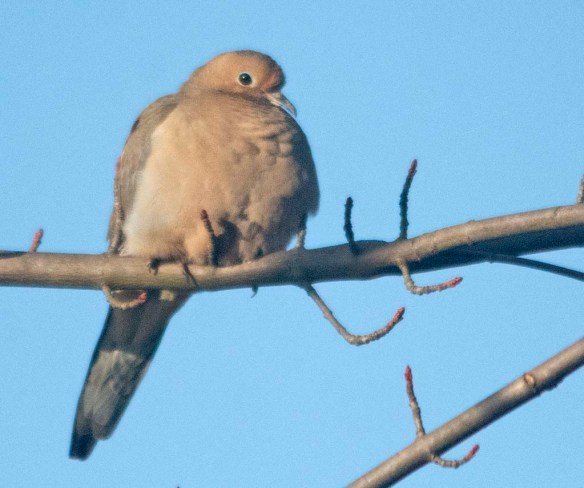 Mourning Dove 2020-102