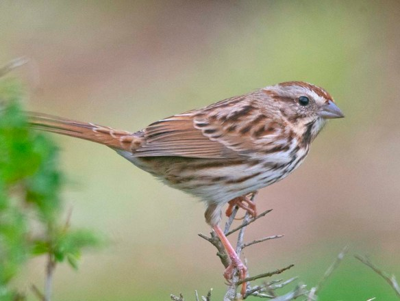 Song Sparrow 2020-14