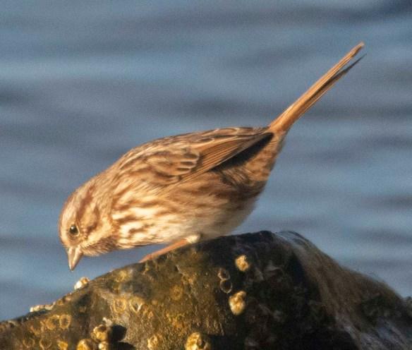 Song Sparrow 2050-14
