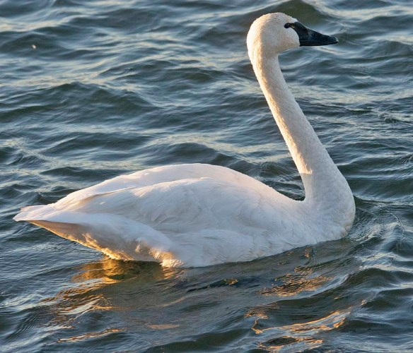 Tundra Swan 2020-44