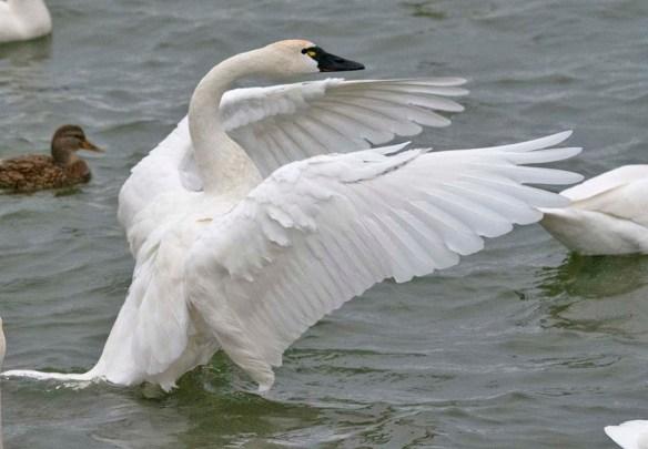 Tundra Swan 2020-48