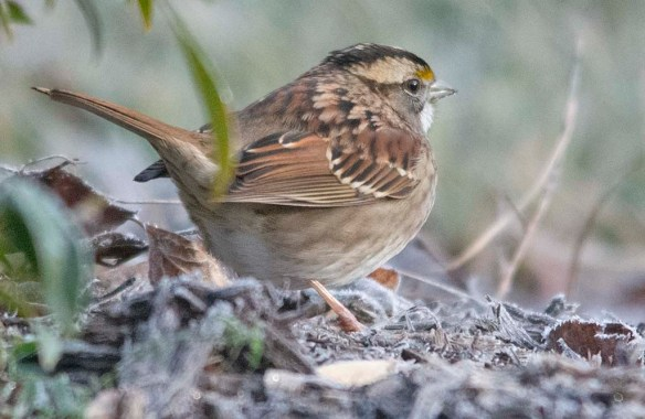 White Throated Sparrow 2020-41