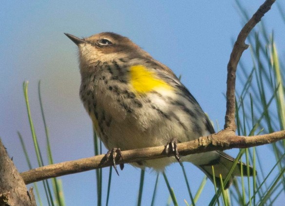 Yellow Billed Cuckoo 2020-104