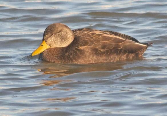 Black Duck 2021-1