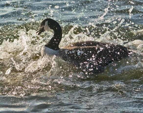 Canada Goose 2021-1