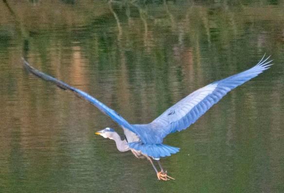 Great Blue Heron 2021-3
