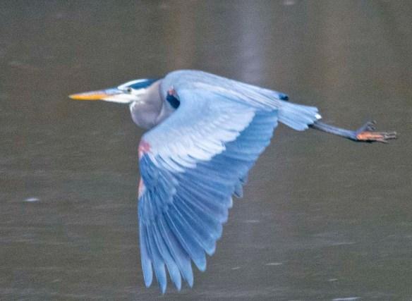 Great Blue Heron 2021-4
