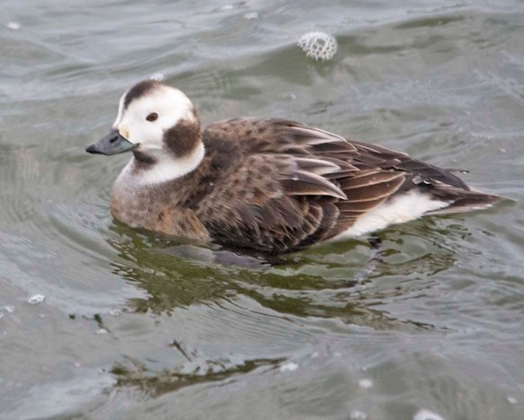 Long Tailed Duck 2021-28