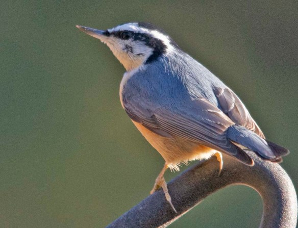 Red Breasted Nuthatch 2021-1