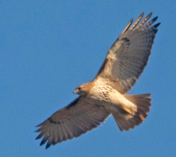 Red Tailed Hawk 2021-1