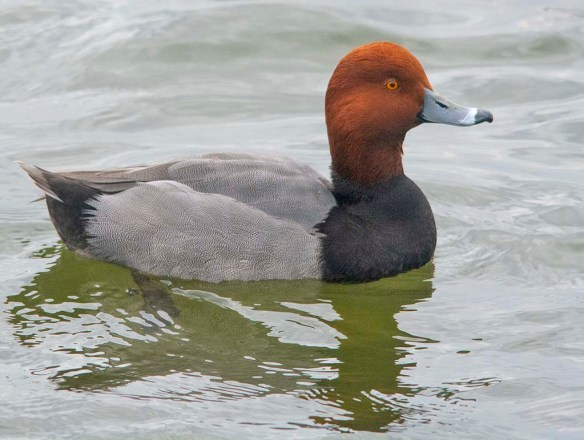 Redhead 2021-16