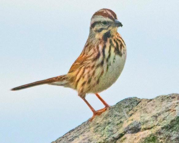 Song Sparrow 2021-4