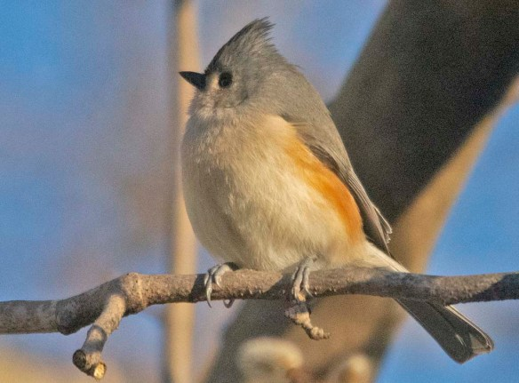 Tufted Titmouse 2021-3