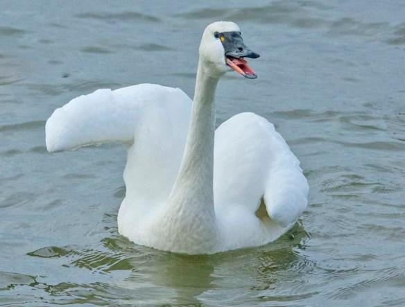 Tundra Swan 2021-2