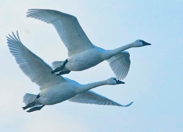 Tundra Swan 2021-25