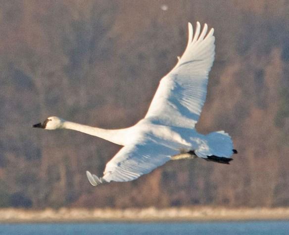 Tundra Swan 2021-5