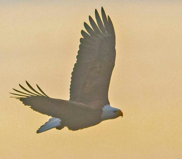 Bald Eagle 2021-5