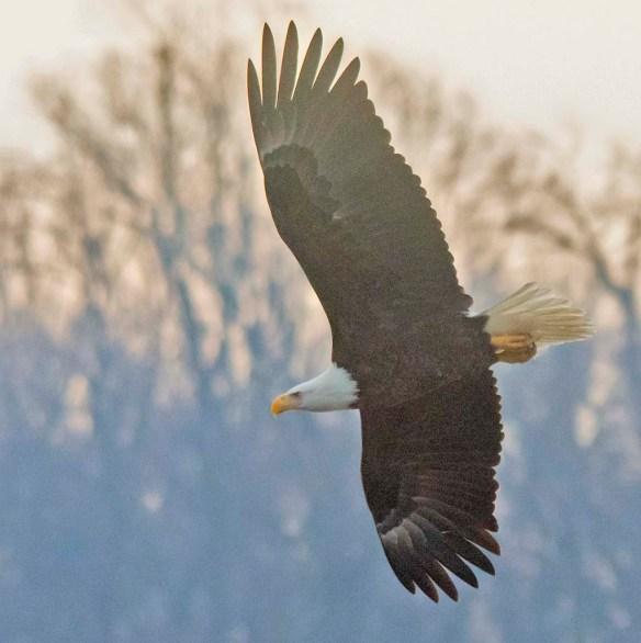 Bald Eagle 2021-6