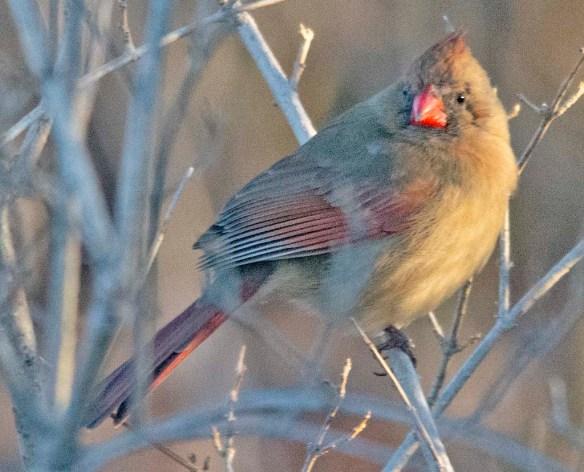 Cardinal 2021-9