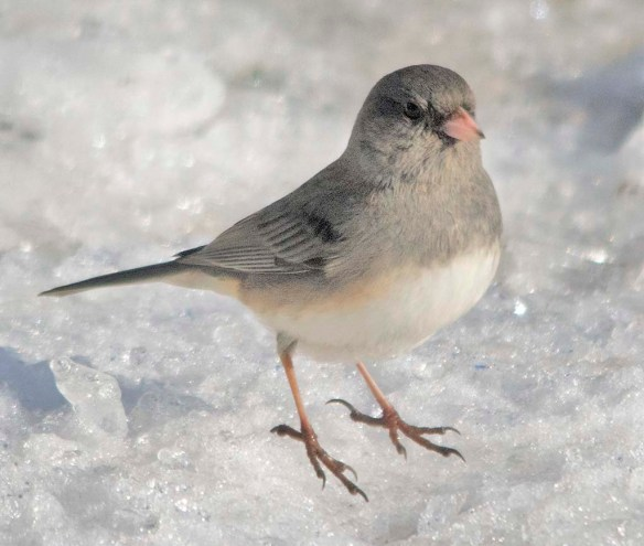 Dark Eyed Junco 2020-8