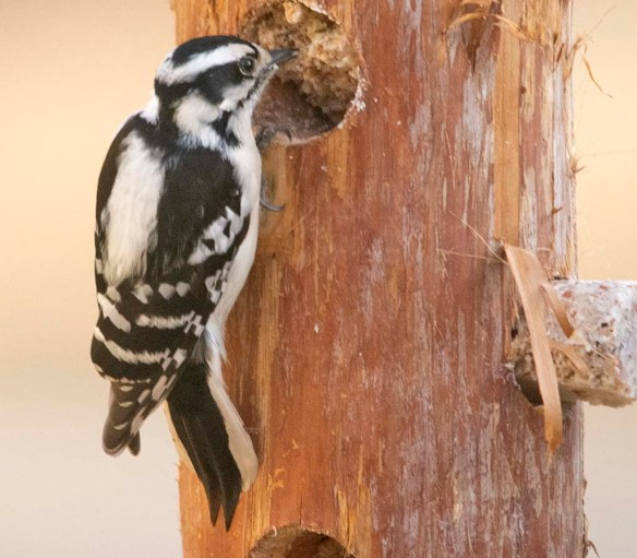Downy Woodpecker 2021-7
