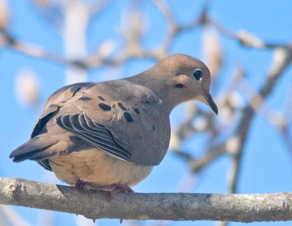Mourning Dove 2021-1