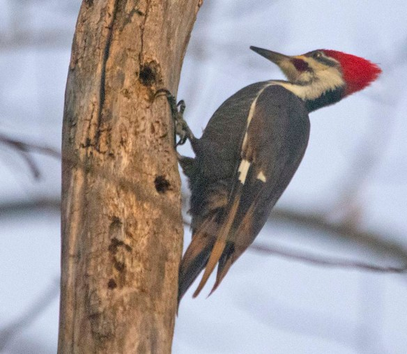 Pileated Woodpecker 2021-5