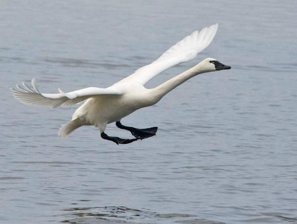 Tundra Swan 2021-70