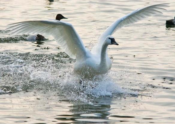 Tundra Swan 2021-75