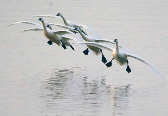Tundra Swan 2021-77