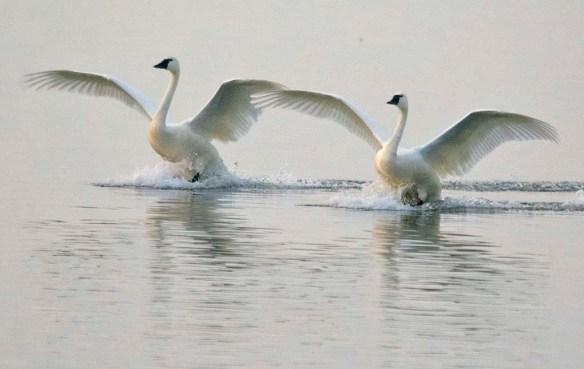 Tundra Swan 2021-78