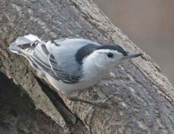 White Breasted Nuthatch 2021-11