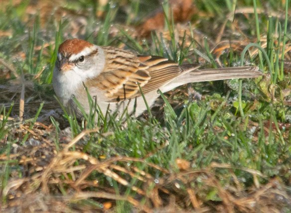 Chipping Sparrow 2021-5