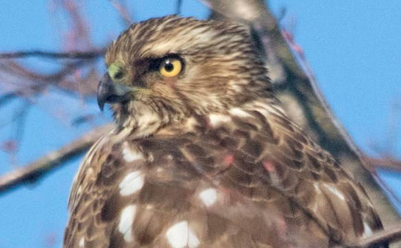 Cooper's Hawk 2021-3