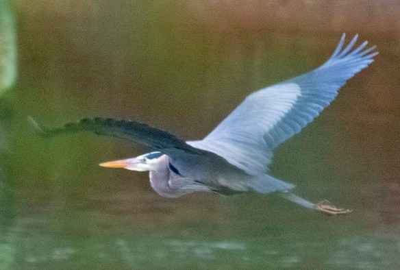 Great Blue Heron 2021-12