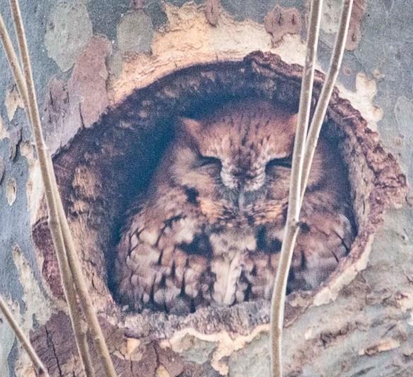 Screech Owl 2021-3