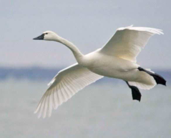 Tundra Swan 2021-91