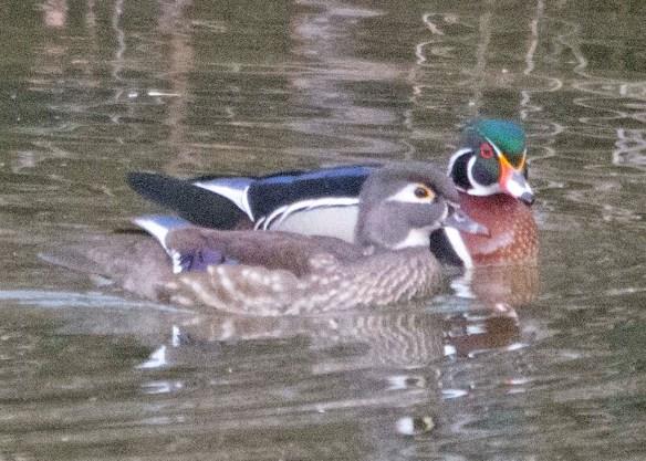 Wood Duck 2021-28