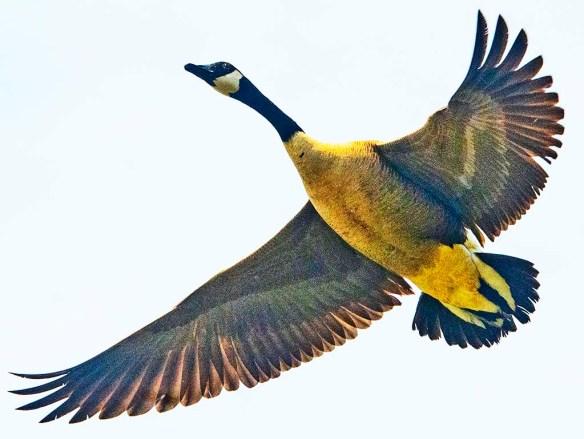 Canada Goose 2021-53