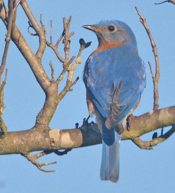 Eastern Bluebird 2020-23