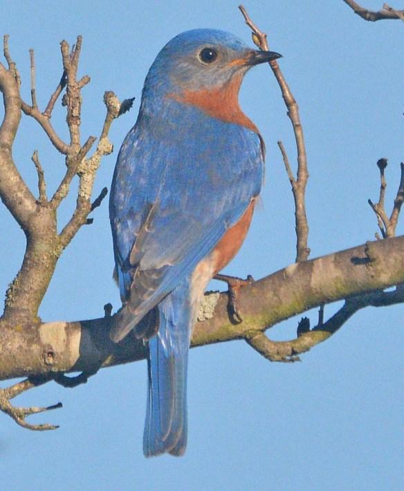 Eastern Bluebird 2020-24