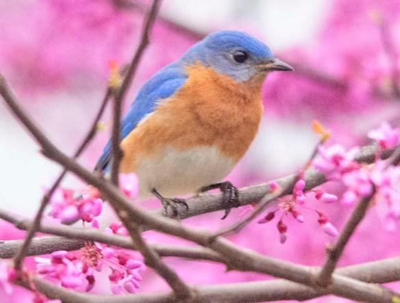 Eastern Bluebird 2020-30
