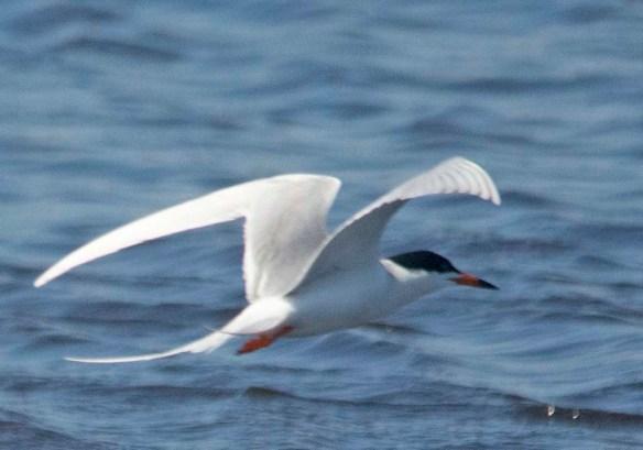 Forster's Tern 2021-3 (1)