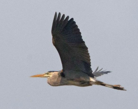 Great Blue Heron 2021-26
