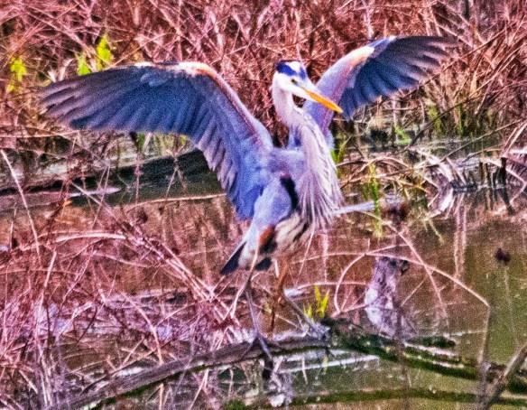 Great Blue Heron 2021-40