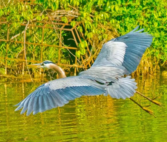 Great Blue Heron 2021-47
