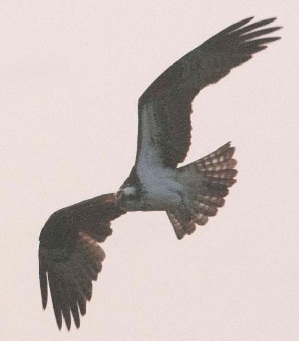 Osprey 2021-13