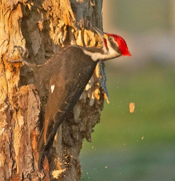 Pileated Woodpecker 2021-16